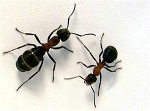 التخلص من النمل